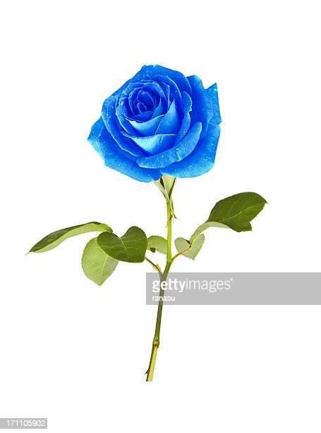 Einzelne blaue rose