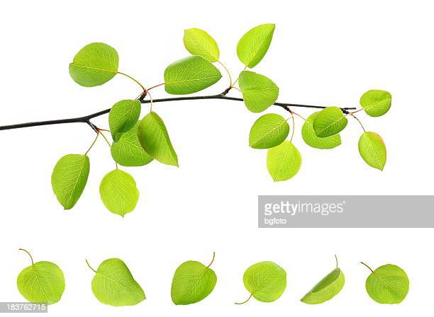 single branch with several attached and fallen apple leaves - twijg stockfoto's en -beelden