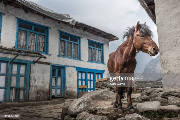 single brown horse standing with rustic house in the street at Lukla, Nepal