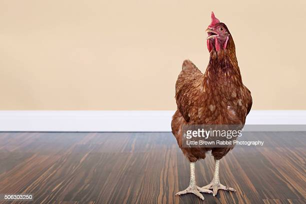 single brown / red chicken in a studio setting - hen stock pictures, royalty-free photos & images