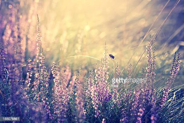 A single bumblebee in the heather