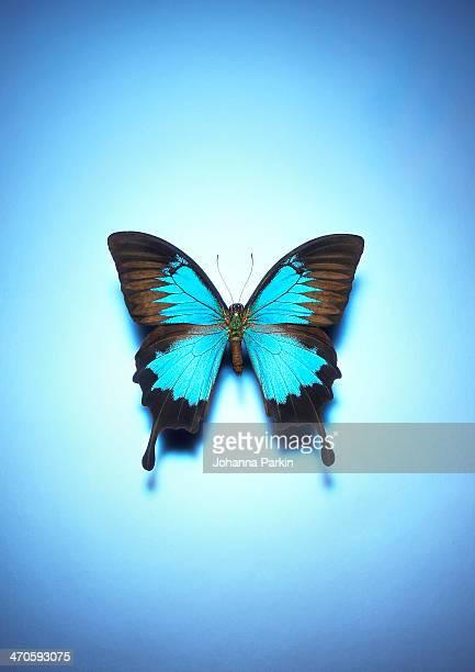 Single butterfly on a blue background