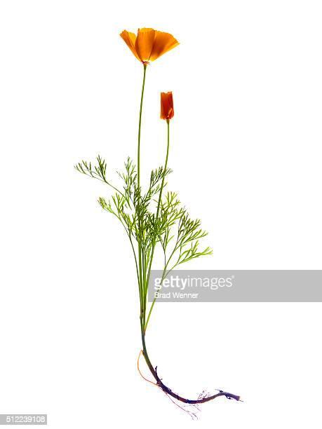 Single California Orange Poppy