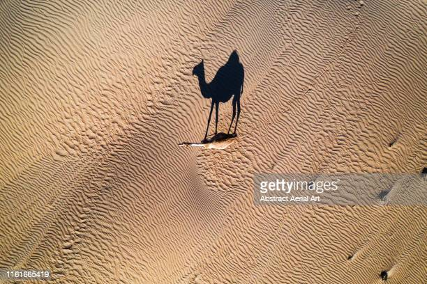 single camel photographed from above, united arab emirates - wonderlust stock pictures, royalty-free photos & images
