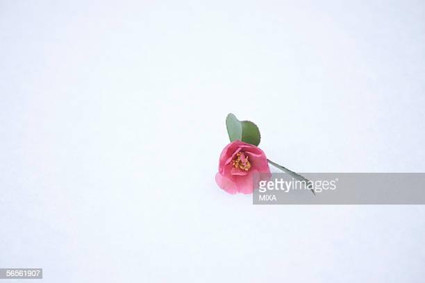 single camellia on snow - wabi sabi - fotografias e filmes do acervo