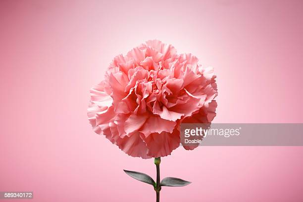Single Carnation Flower