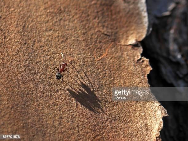 a single carpenter ant, florida carpenter ant - zen rial stock photos and pictures