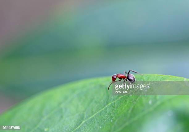 a single carpenter ant on a leaf - pest stock photos and pictures