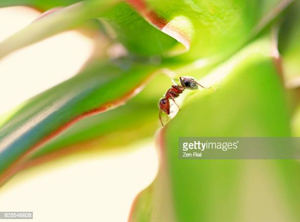 A single Carpenter Ant on a tropical plant