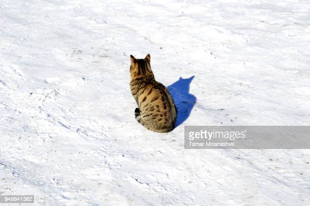 Single Cat in snow