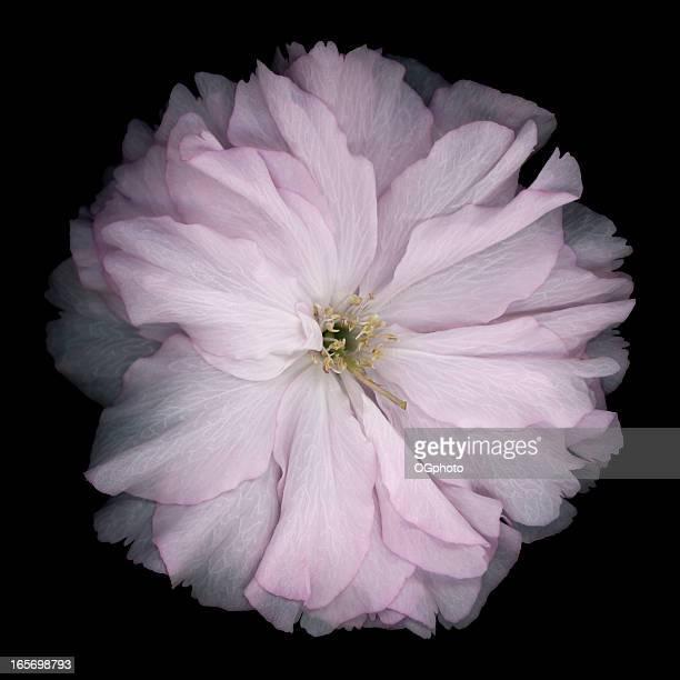 singolo fiore di ciliegio - ogphoto foto e immagini stock