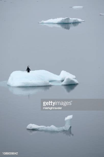 Single Chinstrap penguin floats Neko Harbour iceberg Antarctic Peninsula Antarctica