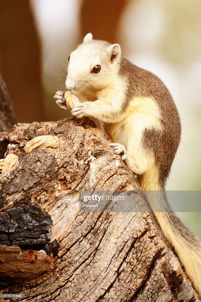 Single chipmunk eating peanut on tree. : Stock Photo