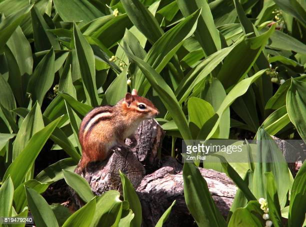 Single chipmunk resting on a log surrounded by lily-of-the-valley plants