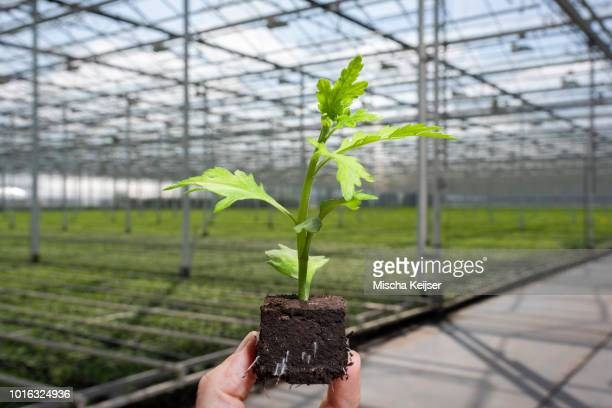 Single chrysanthemum seedling, chrysanthemums in background in modern Dutch greenhouse, Maasdijk, Zuid-Holland, Netherlands