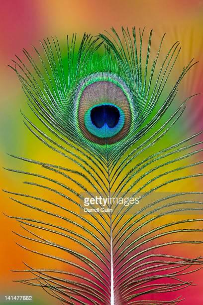 single colorful peacock tail feather - paon photos et images de collection
