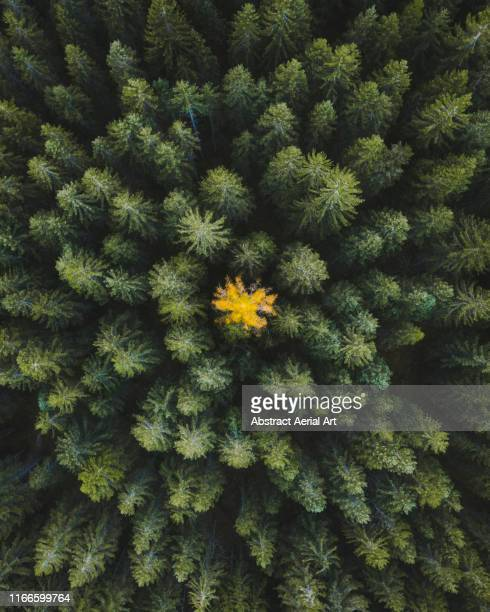 Single coloured tree amongst the forest shot from directly above, Dolomites, Italy