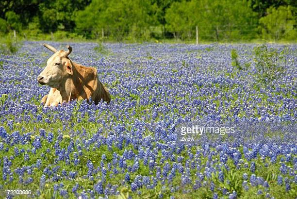 Single Cow Resting In A Field Of Texas Bluebonnet Wildflowers