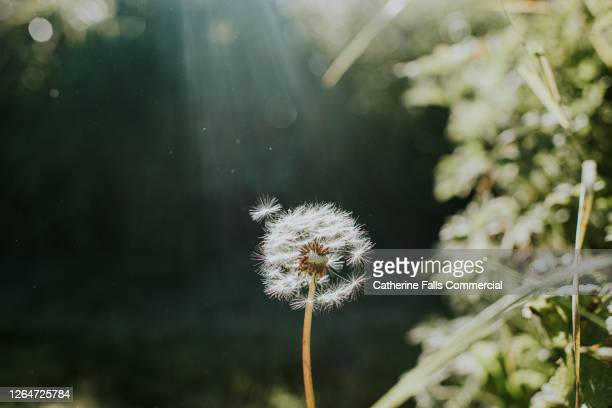 single dandelion - lightweight stock pictures, royalty-free photos & images