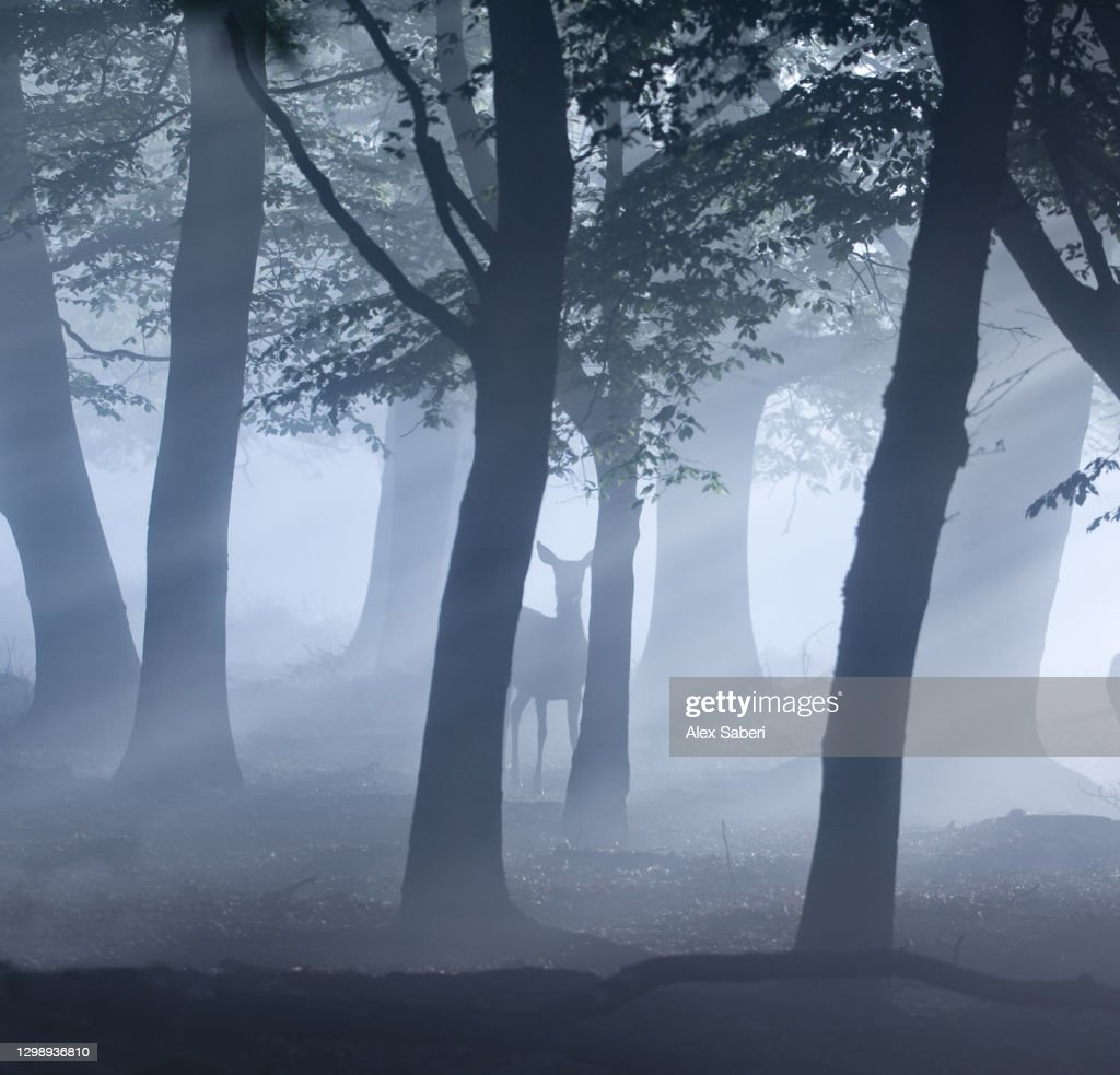 A single deer in an misty forest. : Stock Photo