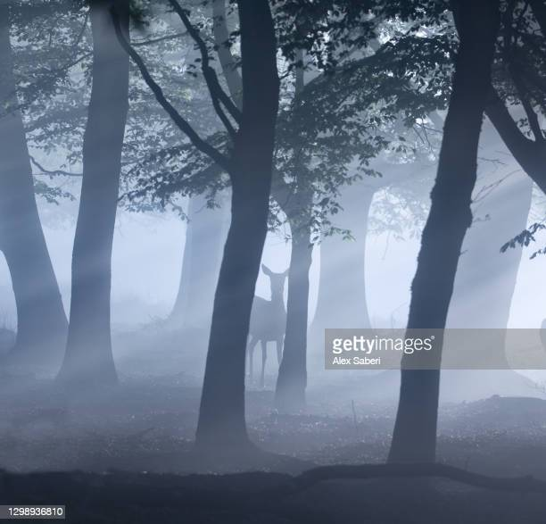 a single deer in an misty forest. - alex saberi stock pictures, royalty-free photos & images