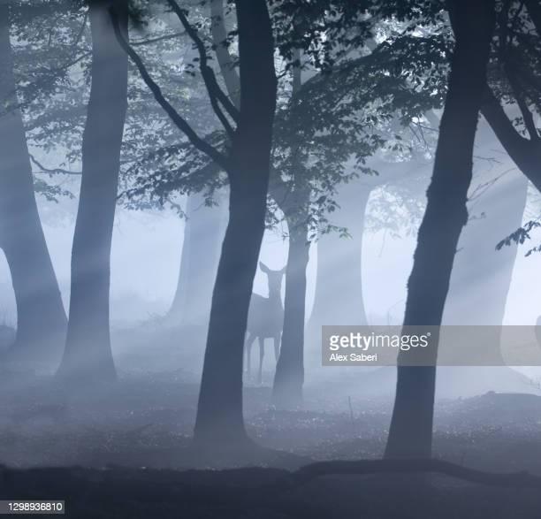 a single deer in an misty forest. - alex saberi stock-fotos und bilder