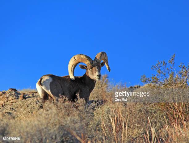 Single Desert bighorn sheep (Ovis canadensis nelsoni) in the Valley of Fires State Park, Nevada