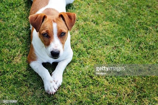 single dog - jack russell terrier bildbanksfoton och bilder