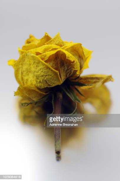 single dried yellow rose - dead rotten fotografías e imágenes de stock