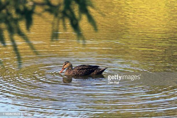 a single duck on a pond making ripples on water - pequeno lago - fotografias e filmes do acervo