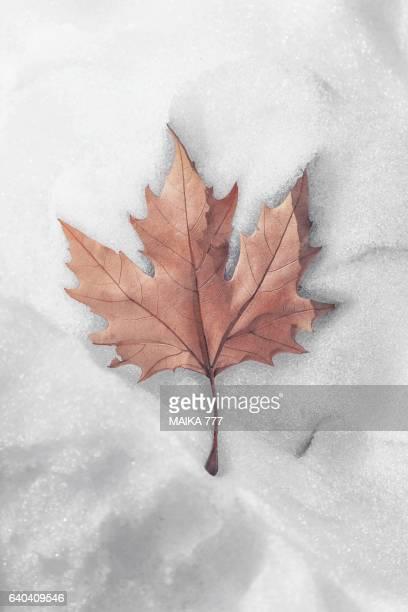 Single fallen Maple leaf on snow