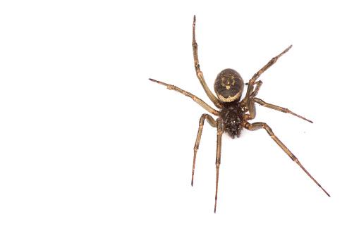 A single false widow spider (male) 841615628