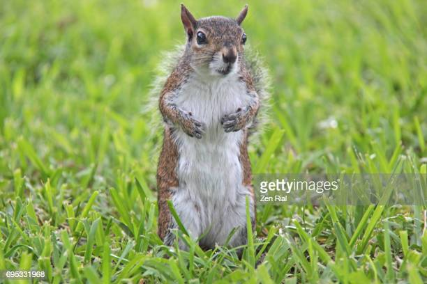 single female squirrel standing on grass - eastern gray squirrel - sciurus carolinensis - eastern gray squirrel stock photos and pictures