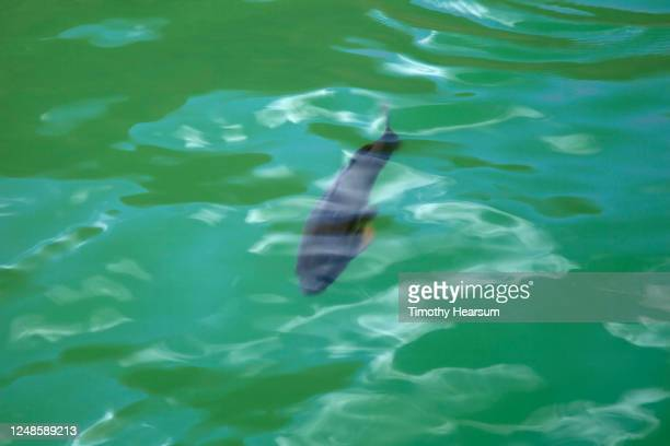 single fish seen through the clear water of lake powell - timothy hearsum stock pictures, royalty-free photos & images