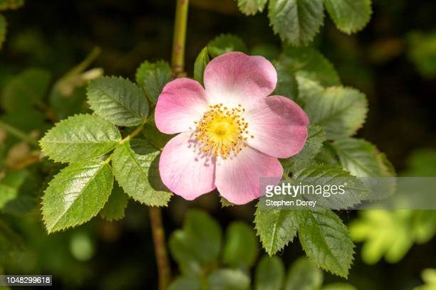 a single flower of dog rose (rosa canina) in bloom in spring in buckinghamshire uk - dog rose stock photos and pictures