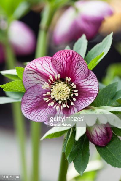 single flower of helleborus x hybridus 'ashwood garden hybrids' - pink picotees; image taken in february. plants at ashwood nurseries - februar stock-fotos und bilder
