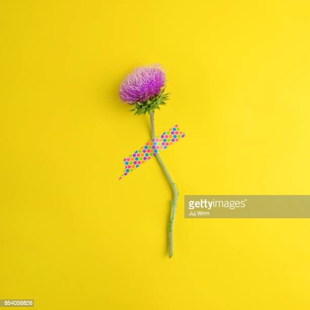 Single flowering thistle blossom