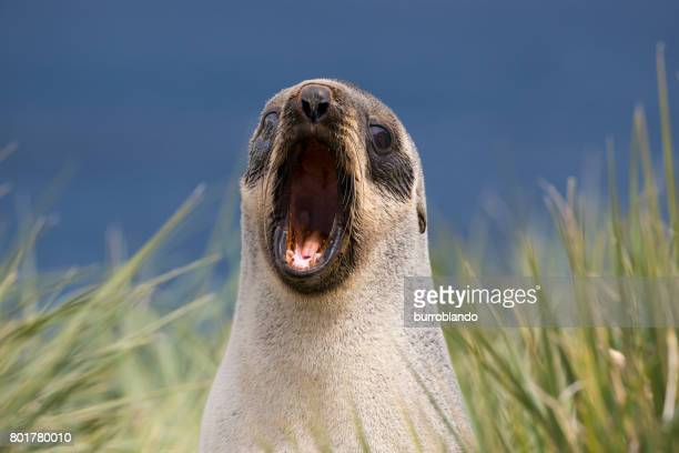 A single fur seal yawns on the shore in South Georgia