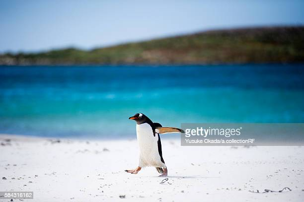 Single Gentoo Penguin walking on beach