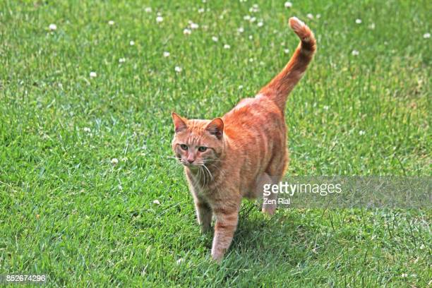 a single ginger cat walking on green grass - zen rial stock photos and pictures