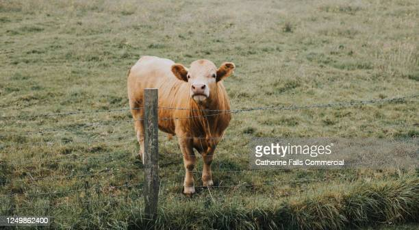 single ginger cow stands in a field behind a wire fence - male bum stock pictures, royalty-free photos & images