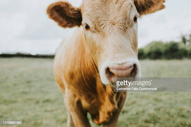 single ginger cow stands in a field - male bum stock pictures, royalty-free photos & images
