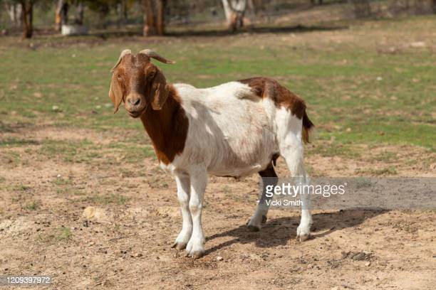 single goat standing in a paddock - one animal stock pictures, royalty-free photos & images