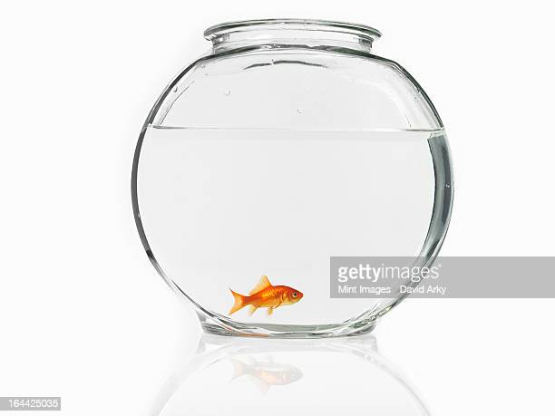 A single goldfish in a bowl.