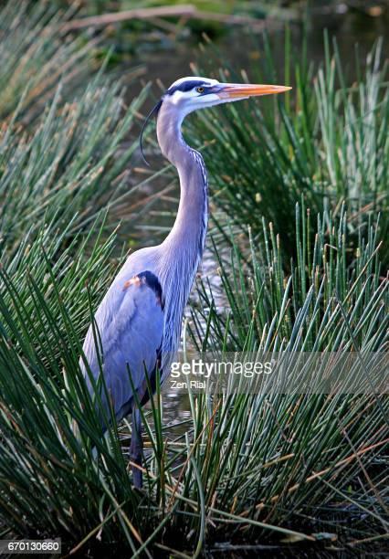 Single Great Blue Heron (Ardea herodias) surrounded by Spikerush (Eleocharis) water plants