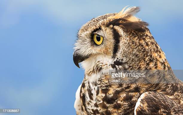 single great horned owl portrait, side view against blue sky - great horned owl stock pictures, royalty-free photos & images