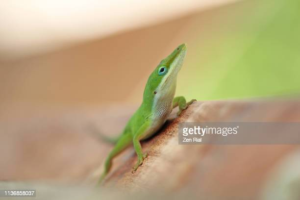 a single green anole lizard (anolis carolinensis) focused on head against colored background - anole lizard stock pictures, royalty-free photos & images