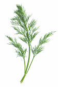 Single green sprig of dill plant