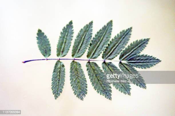 single green wild ash leaf on white background - ash stock pictures, royalty-free photos & images