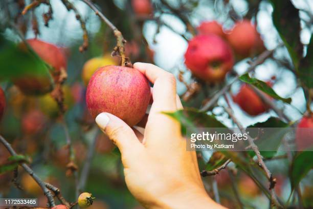 a single hand picking an apple from an apple tree in the fall in massachusetts - harvest festival stock pictures, royalty-free photos & images